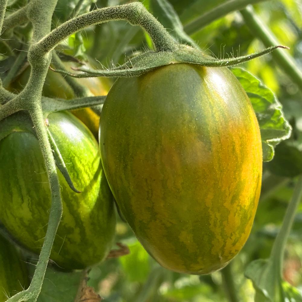 Gelb Grüngeschreifte Tomatensorte