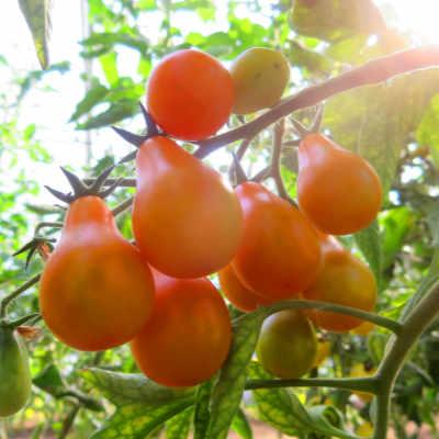 Orange Bio Tomatensorte  in Birnenform