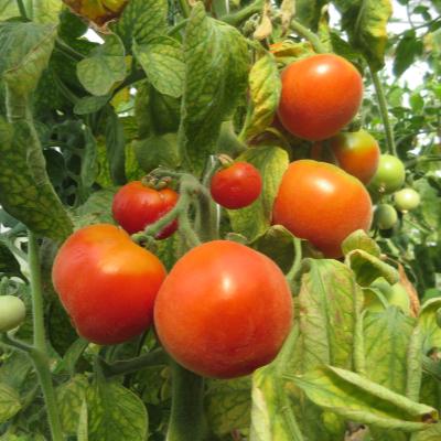 Rot und Oranger Liebesapfel