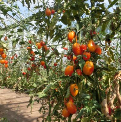 Prachvolle Orange Tomatenpflanze mit schönem Geschmack