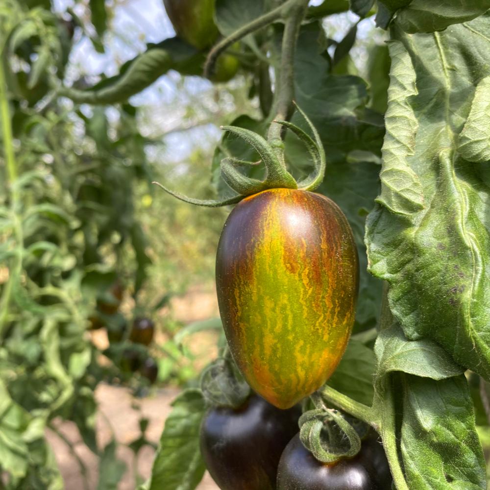 Blaue Tomatenrarität mit Grünen streifen