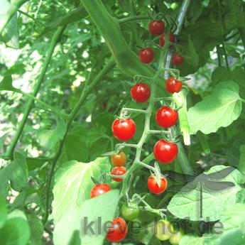 Rote Cherry Tomatenpflanze