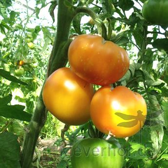 Orange Prachtvolle Tomatenfrucht mit tollem Geschmack