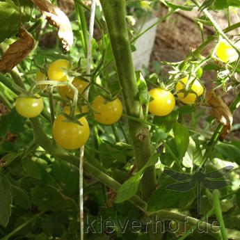 Gelbe Cherry Tomatensorte