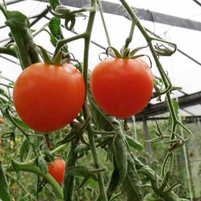 Orange Tomatensorte mit echtem Geschmack