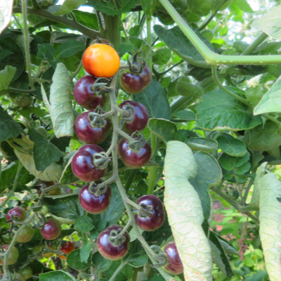 Gelbe/Blaue Demeter Tomatenraritäten