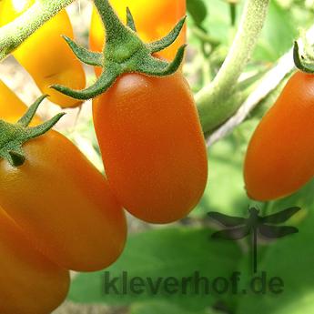 Oranger Tomatenstrauch