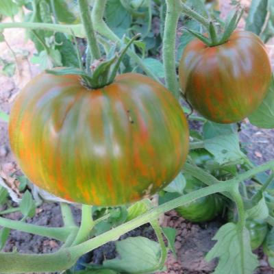 Grün,Rot und Gelb gestreifte Tomatenfrucht