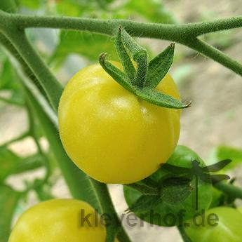 Gelb und Weiße Tomatenfrucht
