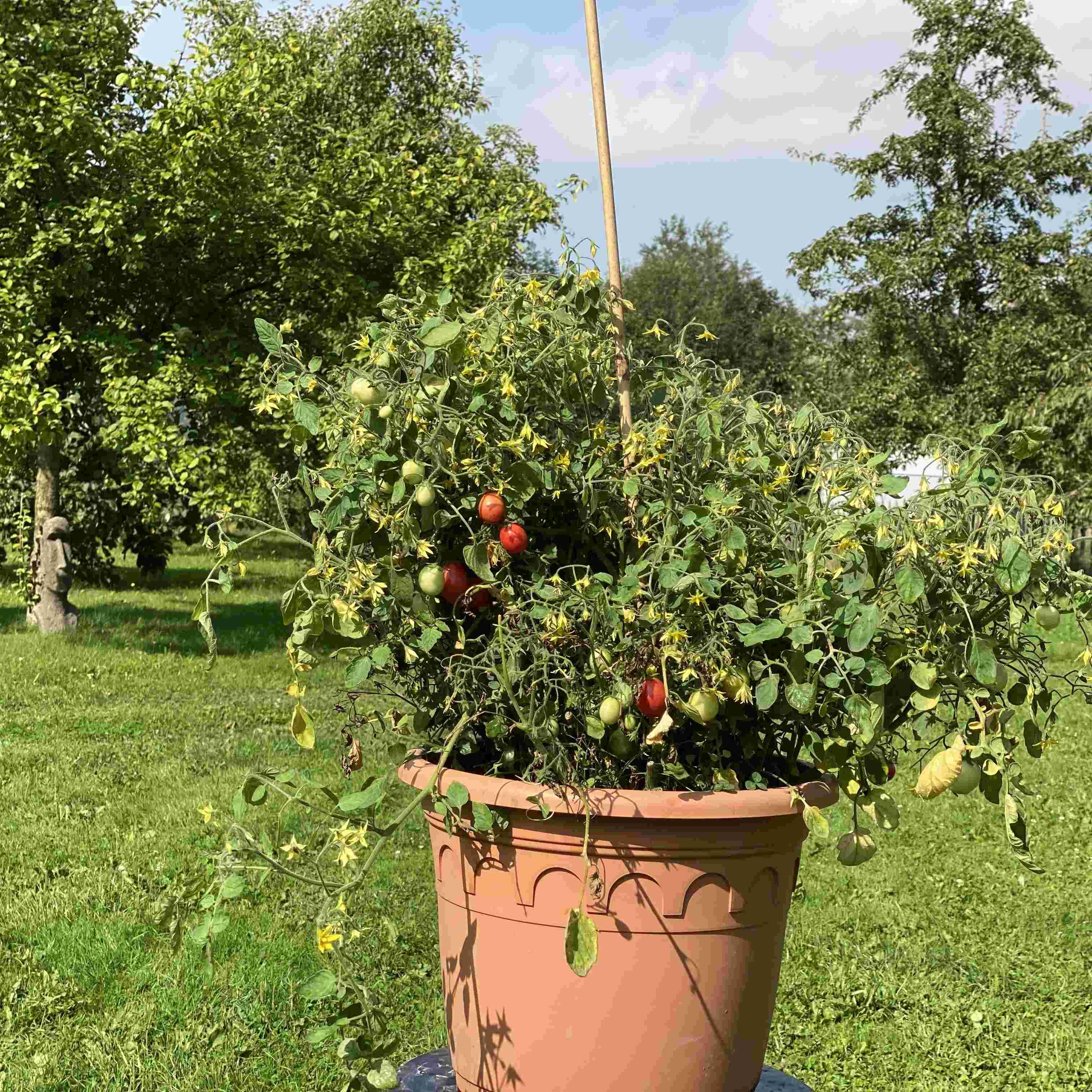 Tomatensaatgut Whippersnapper