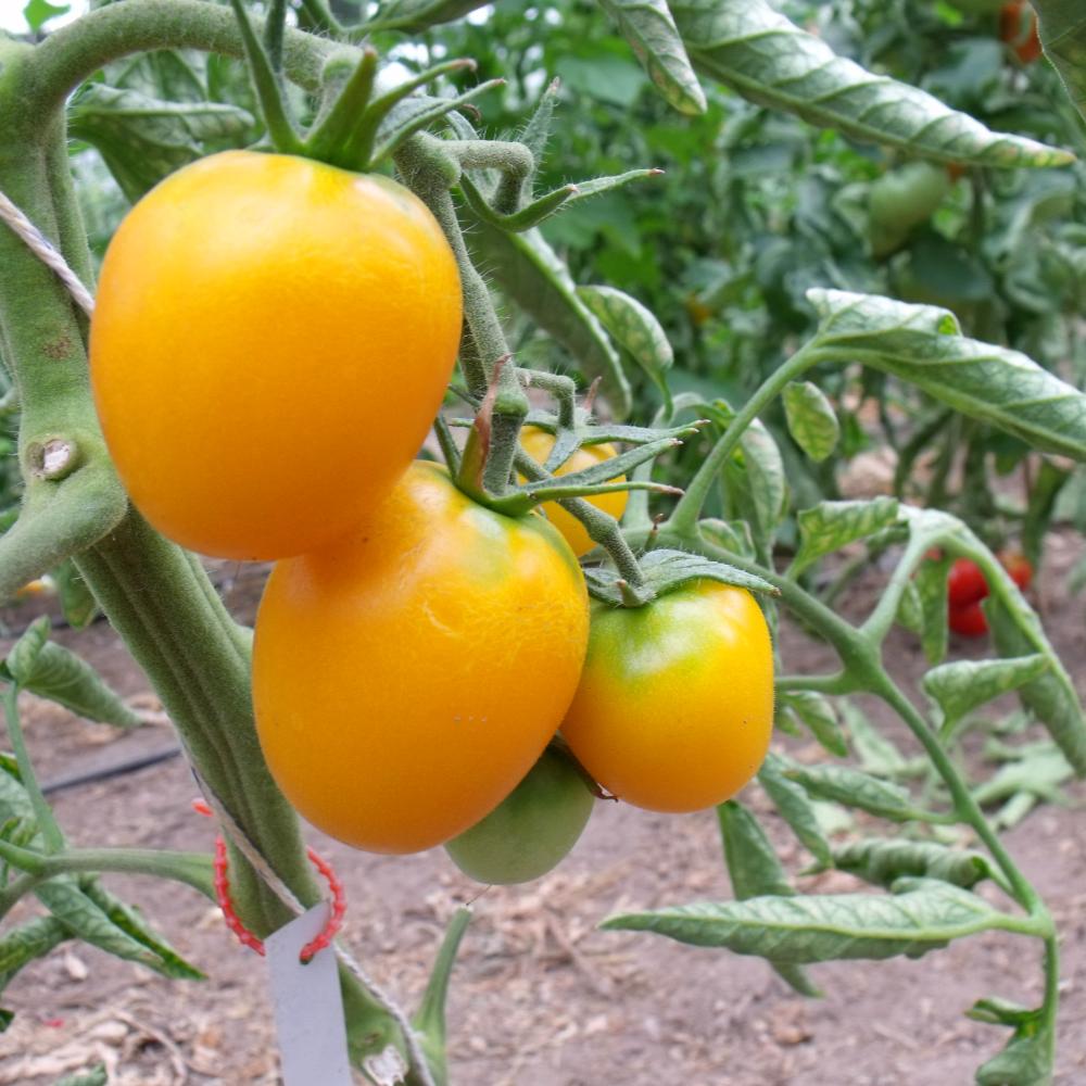 Gelbe Tomatenfrucht