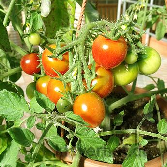 Rote Cherry Tomatenfrucht an einer Rispe