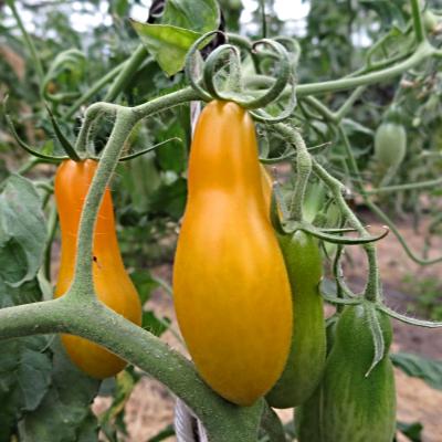 Gelbe Birnen Bio Tomaten