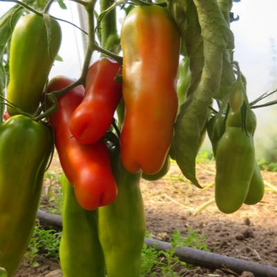 Orange/Rote längliche  Geschmackvolle Tomate