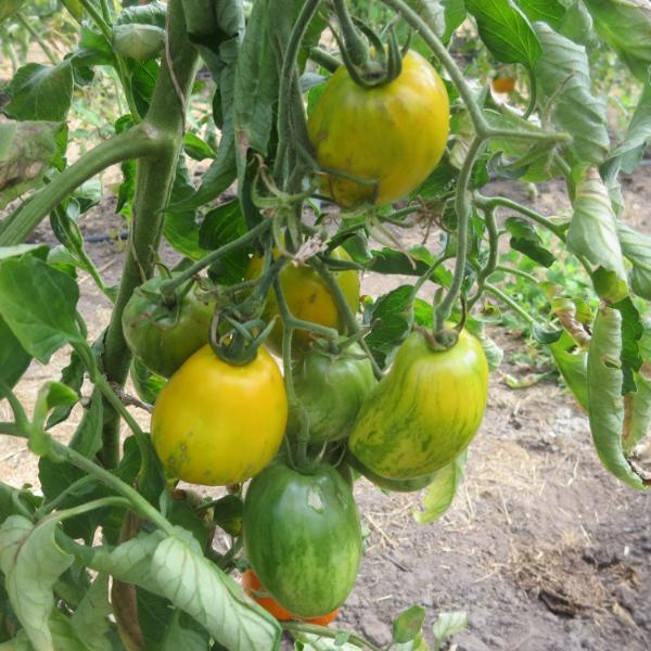 Gelbe Tomatensorte mit Grünen Streifen