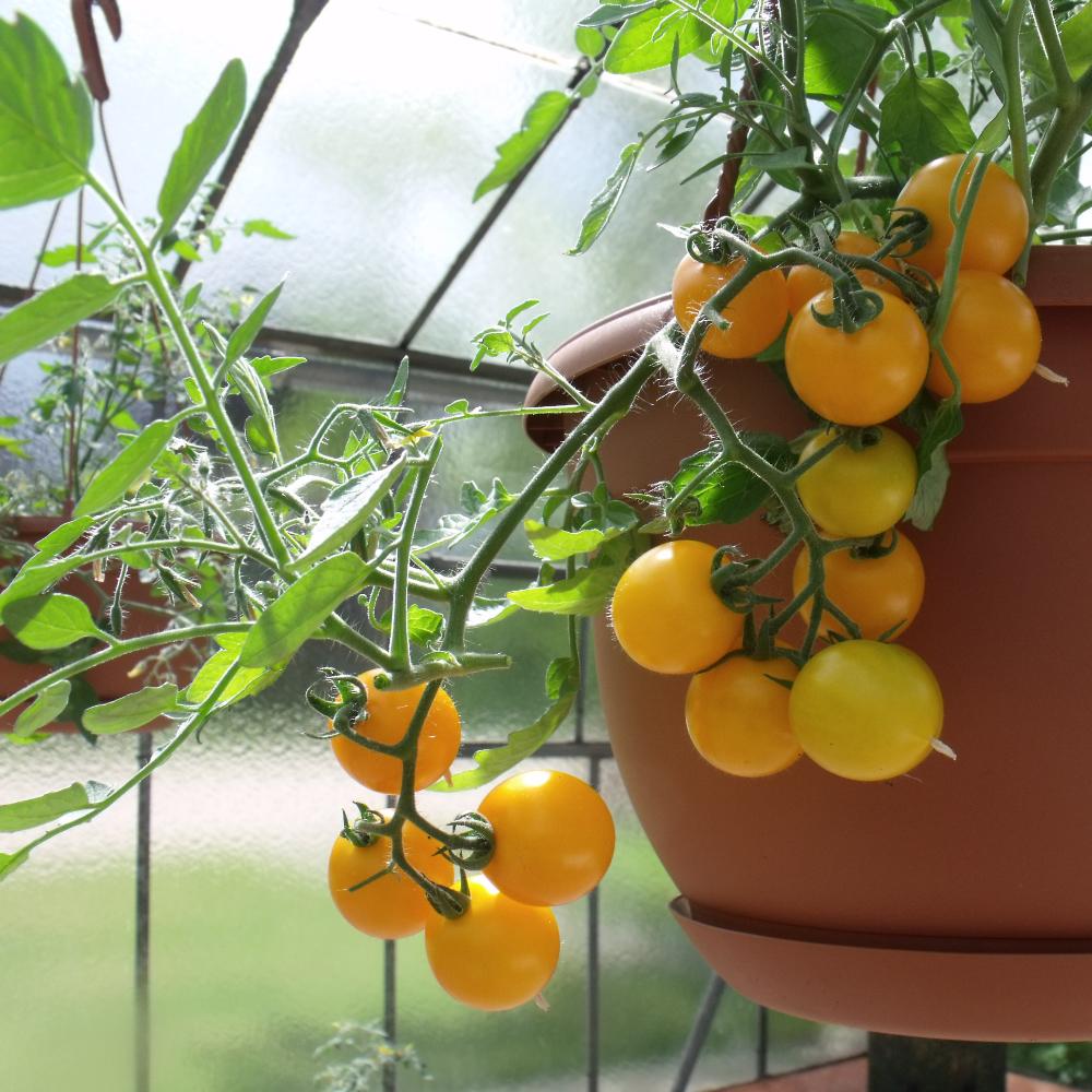 Gelbe Cherry Tomaten