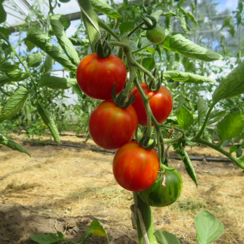 Rot/Orange  gestreifte Tomatensorte