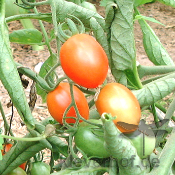 Kleine rote Tomatensorte