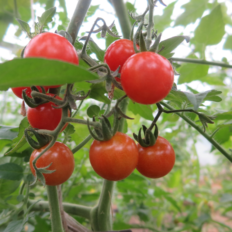 Rote schöne cherry Tomatensorte