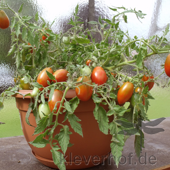 Braun gestreifte Cherry Tomaten vielfalt an einer Rispe