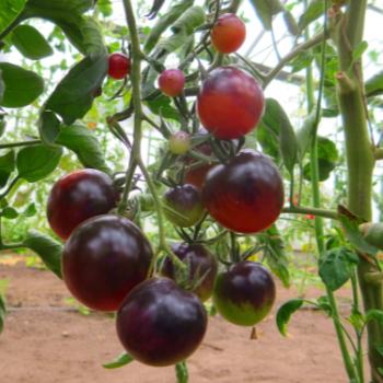 Rot/Violette tomatenfrucht