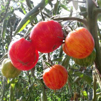 Rote Bio Tomatenfrüchte mit Orangen Streifen