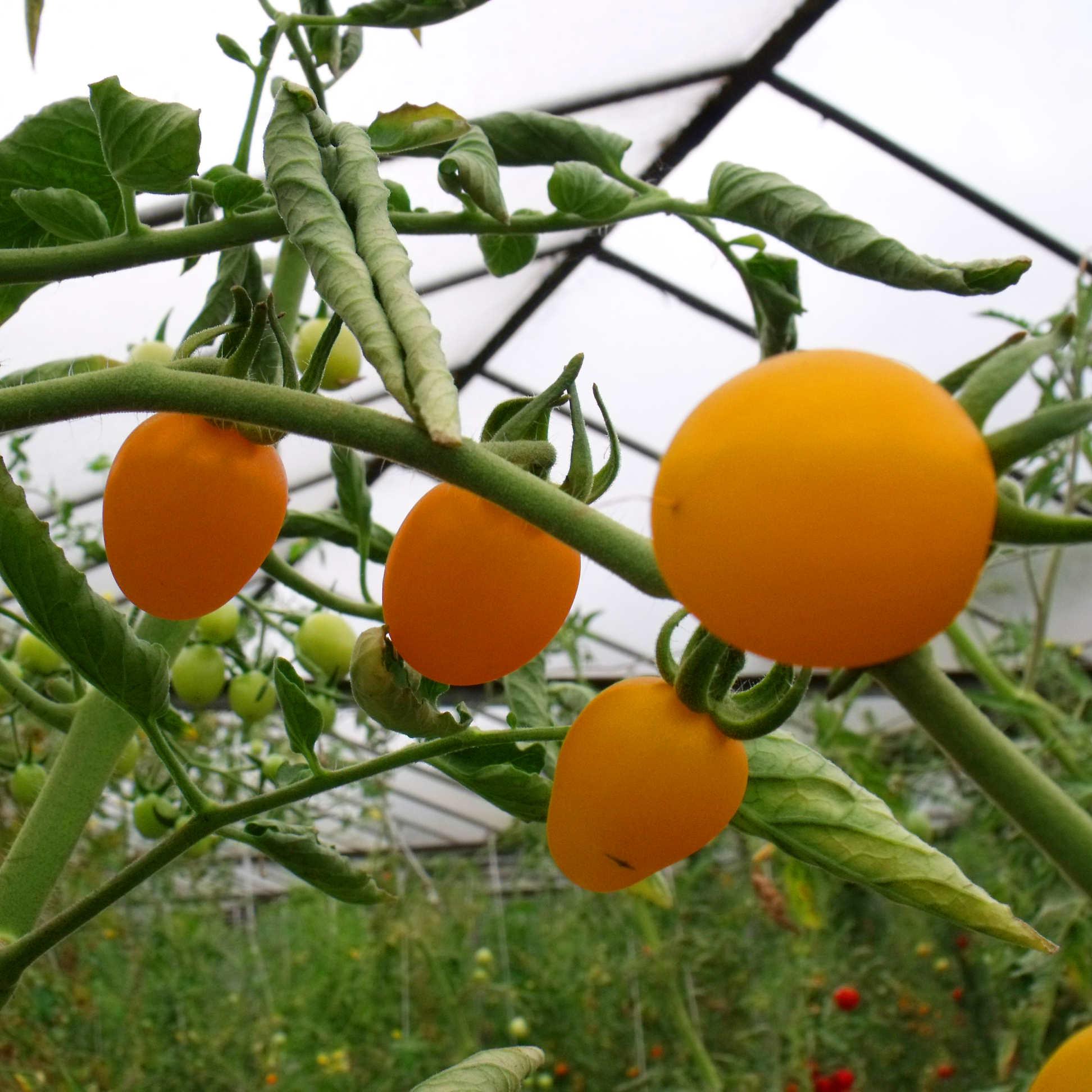 Tomatensaatgut Cerise Gelb