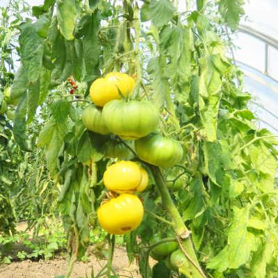 Glebe außergewöhnliche Tomatenfrucht