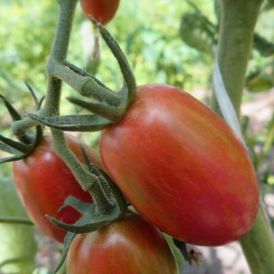 Rote längliche cherry Bio Tomaten