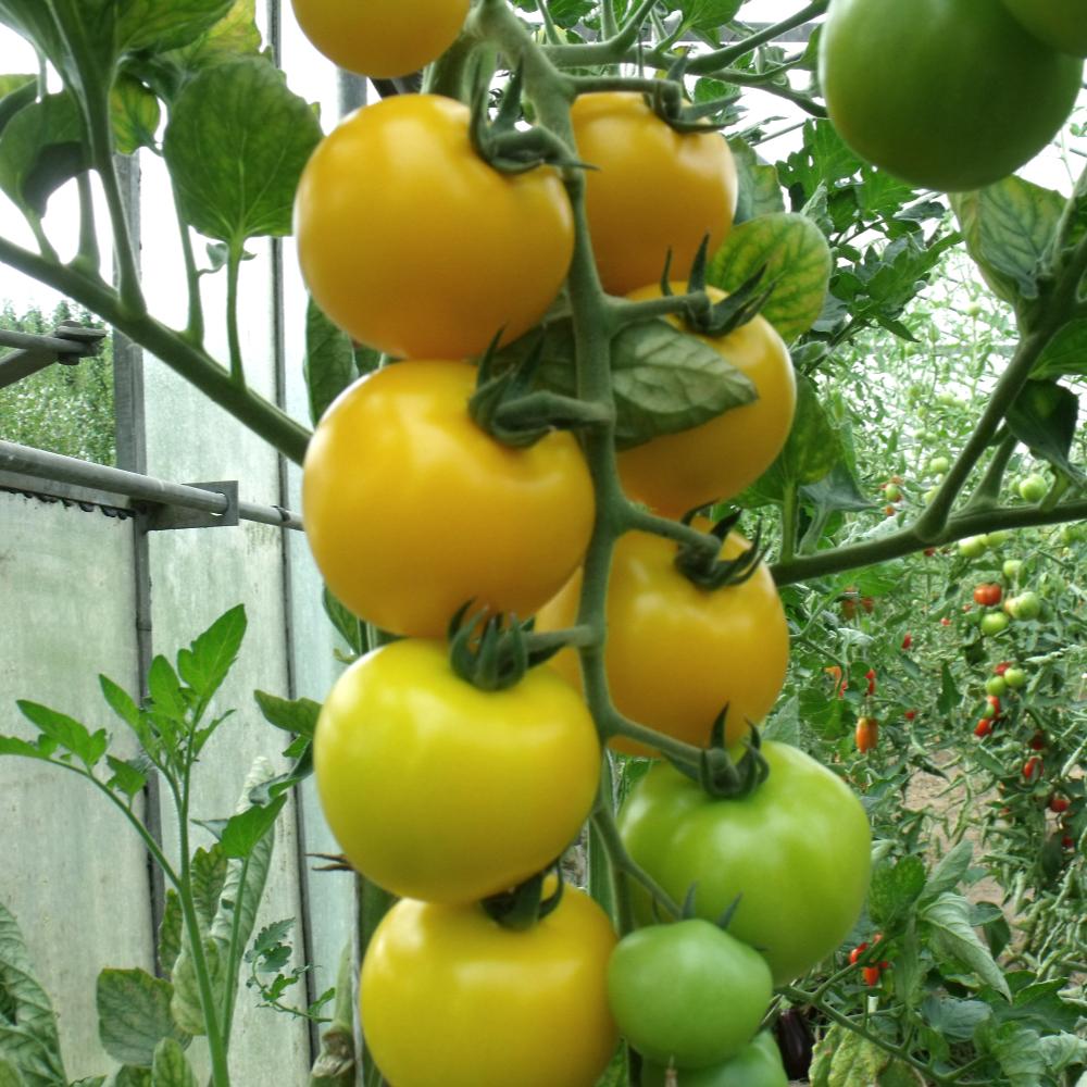 Gelbe Geschmackvolle Tomatensorte