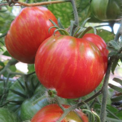Rote Tomatensorte mit grünen Streifen