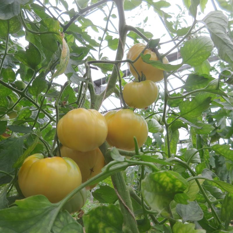 Schöne Weiße Tomate mit super Geschmack