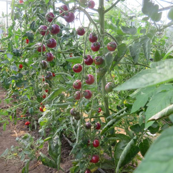 Rot und Blaue Tomatenfrüchte