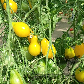 Gelbe Cherry Tomatenfrüchte in Birnenform