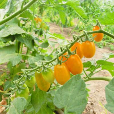 Kleine Gelbe Cherry Tomatenpflanze