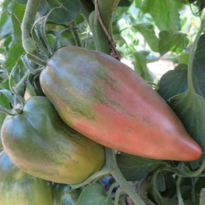 Pink gestreifte Tomatenfrucht mit Geschmack
