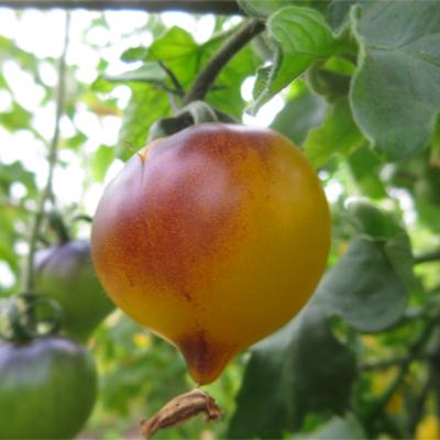 Orange/Gelbe Tomatenrarität