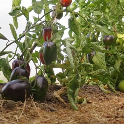 Rot und Blaue längliche Tomatenrarität