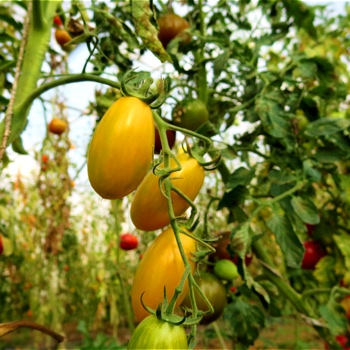 Kleine längliche gelbe Demter Tomaten