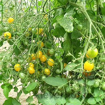 Gelbe Cherry Tomatenfrüchte