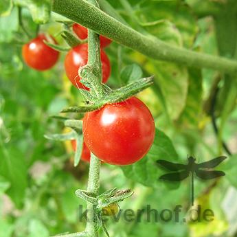 Rote leckere Cherry Tomatenfrucht