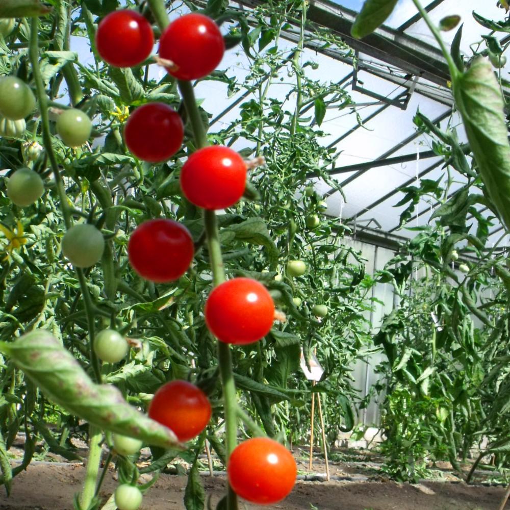 Glänzend rote Tomate