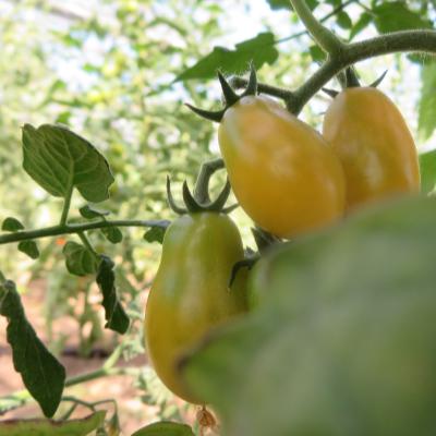 Orange längliche Cherry Tomaten