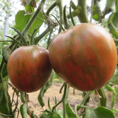 Braun gestreifte Tomatenfrucht