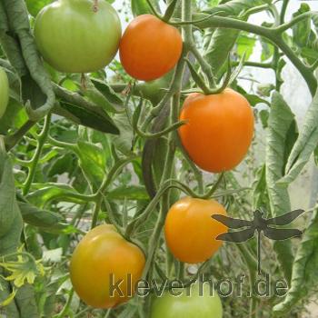 Orange/Gelbe Bio Tomatenvielfalt