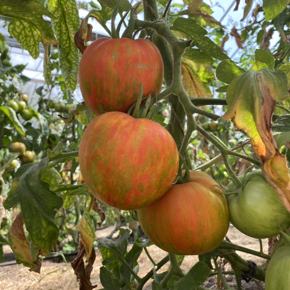 Orange gestreifte Tomatenvielfalt