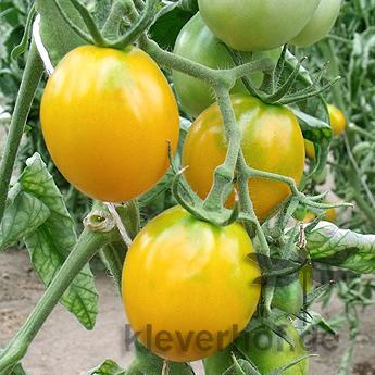 Gelbe Cherry Tomatenpflanze mit Geschmack