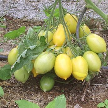 Gelbe Tomatenvielfalt in Birnen Form