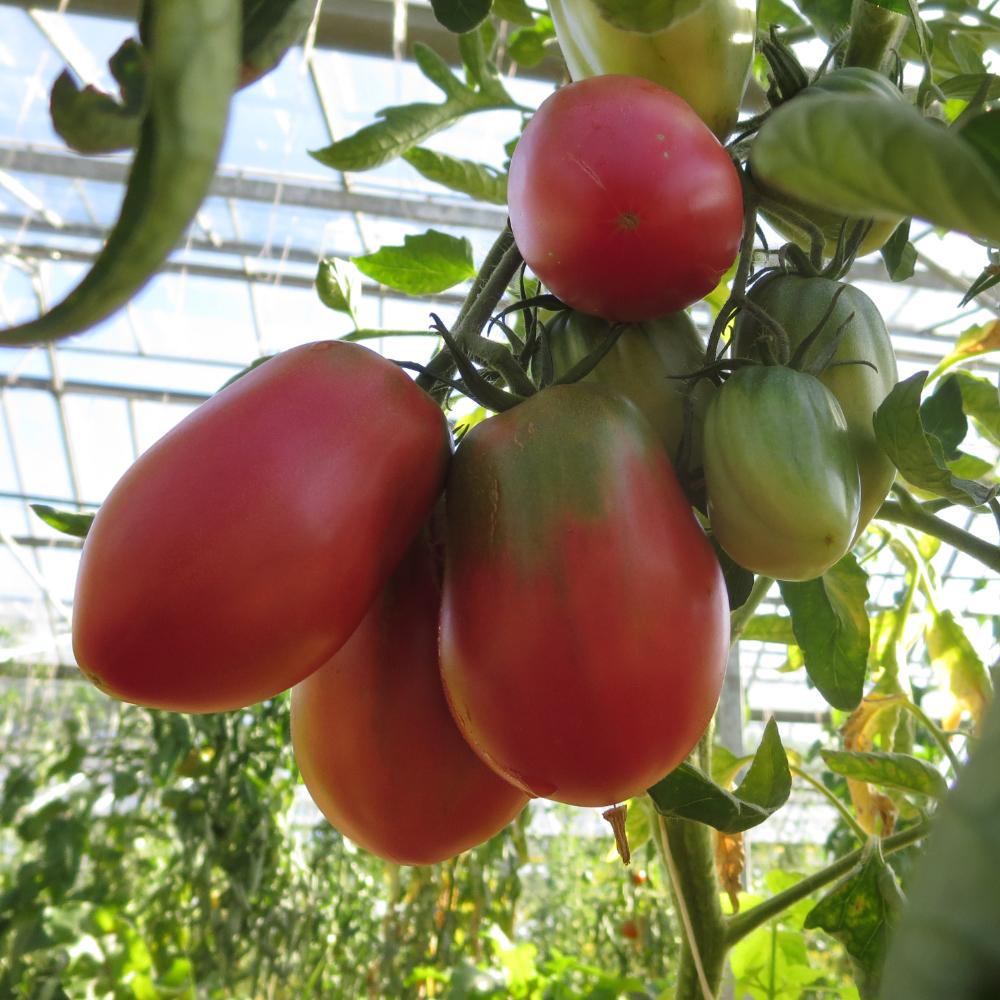 Schön rote Bio Tomate mit Grünen Kopf