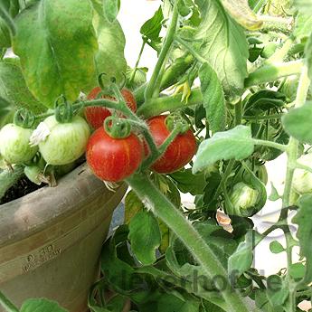 Rote Tomatensorte mit feinen Härchen und Orangen Streifen